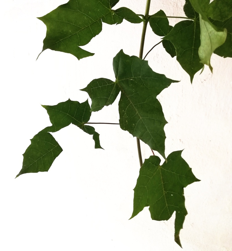 zerschnittene Blätter an einem Ast